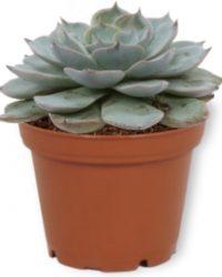 Echeveria Blue Bird - Vetplant ± 13cm hoog - 7cm diameter