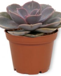 Echeveria Pearl of Neurenberg - Vetplant ± 13cm hoog - 7cm diameter