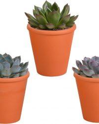 Echeveria mix in terracotta pot | 3 stuks | Ø 11 cm | ↕ 12-15 cm