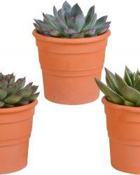 Echeveria mix in terracotta pot | 3 stuks | Ø 13 cm | ↕ 16-21 cm