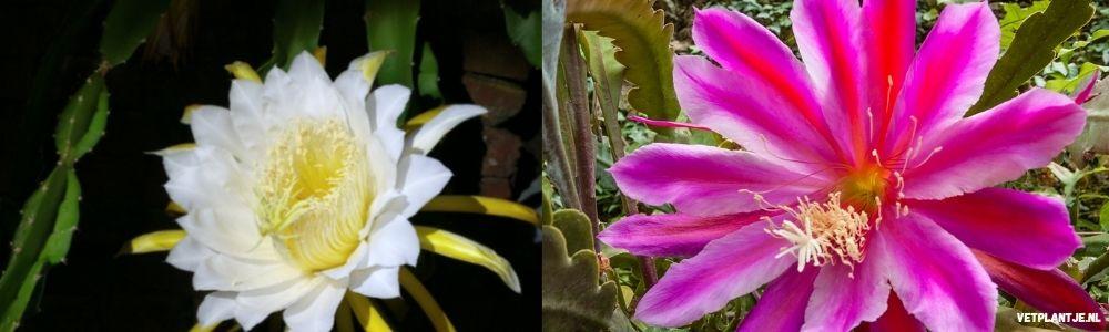 Epiphyllum Bladcactus