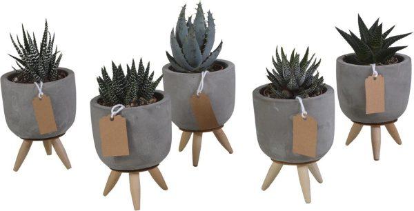 Gasteria/Haworthia mix in betonpot op 3 pootjes | 5 stuks | Ø 7,5 cm | ↕ 11-16 cm