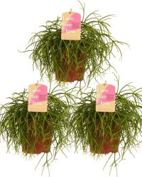 Hellogreen Kamerplanten - Set van 3 - Rhipsalis Cashero - 20 cm