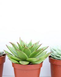 Ikhebeencactus Echeveria vetplant mix 3 stuks 8,5cm pot