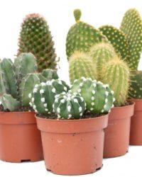 Ikhebeencactus Interieur set (10,5 cm) 5st Cactus