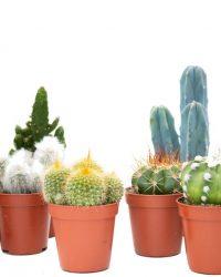 Ikhebeencactus Interieur set 10st (5,5 cm) Cactus