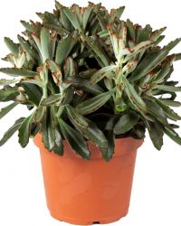 Kalanchoe 'Tomentosa' | Pandaplant per stuk - kamerplant in kwekers pot ⌀14 cm - ↕25 cm