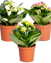 Kalanchoe garden lina | set van 3 stuks - Kamerplant in kwekerspot ⌀7 cm - ↕12-15 cm