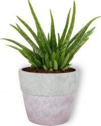 Kamerplant Aloe Vera - ↕ ± 30cm - Ø 12cm - in betonnen lila pot