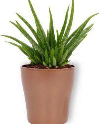 Kamerplant Aloe Vera - ↕ ± 30cm - Ø 12cm - in koper kleurige pot