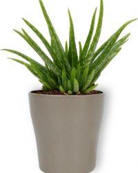 Kamerplant Aloe Vera - ↕ ± 30cm - Ø 12cm - in zilverkleurige pot