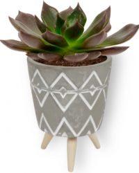 Kamerplant Echeveria Echoc - Vetplant - ↕ ± 10cm - Ø 7cm - in grijze pot op houten voet
