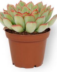 Kamerplant Echeveria Pelusida - Vetplant - ↕ ± 10cm - Ø 7cm