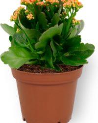Kamerplant Kalanchoë Perfecta - met oranje bloemen - ± 10cm hoog - 7cm diameter