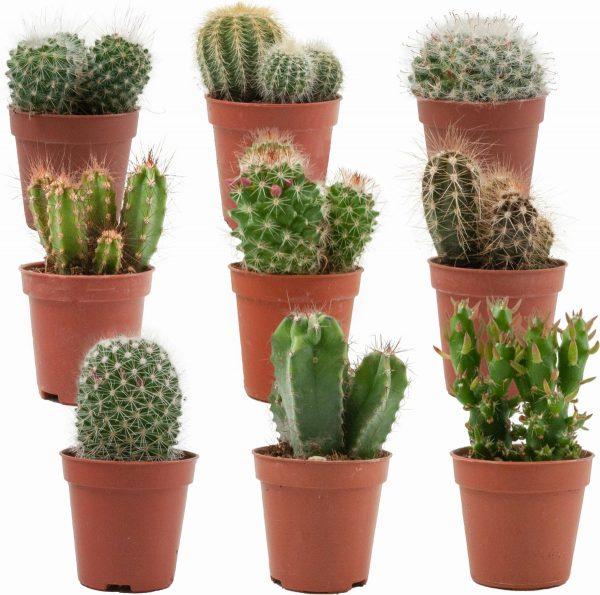 Mini Cactussen Mix - 9 Stuks - Ø 5,5 cm - ↕ Hoogte: 5-10 cm - Cactus - Kamerplant - Cactus Cadeau - Moederdag Cadeautje
