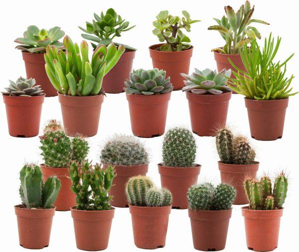 Mini Cactussen/Succulenten Mix - 18 Stuks - Ø 5,5 cm - ↕ Hoogte: 5-10 cm - Cactus - Vetplant - Succulent - Kamerplant - Cactus Cadeau - Succulent Cadeau