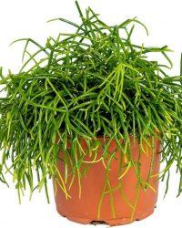 Rhipsalis 'Baccifera oasis' | Koraalcactus - Kamerplant in kwekerspot ⌀12 cm - ↕20 cm