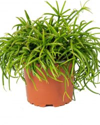 Rhipsalis 'Baccifera oasis' | koraalcactus per stuk - kamerplant in kwekers pot ⌀10,5 cm - ↕18 cm