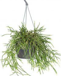 Rhipsalis 'Pilocarpa' -Koraalcactus in hangpot - Pot 17 - Hoogte 20 cm