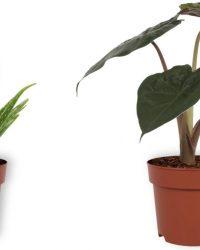 Set van 2 Kamerplanten - Aloë Vera & Alocasia Wentii - ± 30cm hoog - 12cm diameter