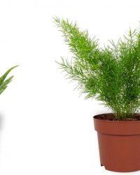 Set van 2 Kamerplanten - Aloë Vera & Asparagus Sprengeri - ± 25cm hoog - 12cm diameter