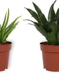 Set van 2 Kamerplanten - Aloë Vera & Draceana Compacta - ± 25cm hoog - 12cm diameter