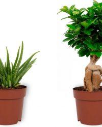 Set van 2 Kamerplanten - Aloë Vera & Ficus Ginseng - ± 30cm hoog - 12cm diameter
