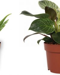 Set van 2 Kamerplanten - Aloë Vera & Philodendron White Wave - ± 30cm hoog - 12cm diameter