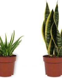 Set van 2 Kamerplanten - Aloë Vera & Sansevieria Laurentii - ± 30cm hoog - 12cm diameter