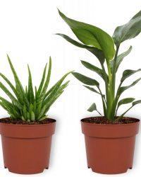 Set van 2 Kamerplanten - Aloë Vera & Strelitzia Reginae - ± 30cm hoog - 12cm diameter