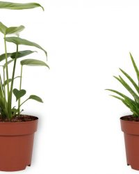 Set van 2 Kamerplanten - Monstera Deliciosa & Aloë Vera - ± 30cm hoog - 12cm diameter