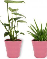 Set van 2 Kamerplanten - Monstera Deliciosa & Aloë Vera- ± 30cm hoog - 12cm diameter - in Roze pot