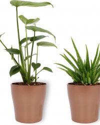 Set van 2 Kamerplanten - Monstera Deliciosa & Aloë Vera - ± 30cm hoog - 12cm diameter - in koper kleurige pot