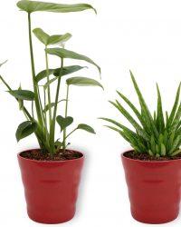 Set van 2 Kamerplanten - Monstera Deliciosa & Aloë Vera - ± 30cm hoog - 12cm diameter - in rode pot