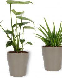 Set van 2 Kamerplanten - Monstera Deliciosa & Aloë Vera - ± 30cm hoog - 12cm diameter - in sierpot met zilveren metallic look