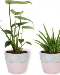 Set van 2 Kamerplanten - Monstera Deliciosa & Aloë Vera Clumb - ± 30cm hoog - 12cm diameter - in betonnen roze pot