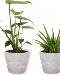 Set van 2 Kamerplanten - Monstera Deliciosa & Aloë vera - ± 30cm hoog - 12cm diameter - in betonnen lila pot