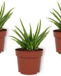 Set van 3 Kamerplanten - Aloe Vera - ± 30cm hoog - 12cm diameter