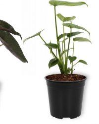 Set van 3 Kamerplanten - Aloë Vera & Monstera Deliciosa & Alocasia Wentii - ± 30cm hoog - 12cm diameter