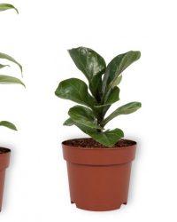 Set van 3 Kamerplanten - Aloë Vera & Monstera Deliciosa & Ficus Bambino - ± 30cm hoog - 12cm diameter