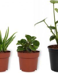 Set van 3 Kamerplanten - Aloë Vera & Monstera Deliciosa & Peperomia Green Gold - ± 30cm hoog - 12cm diameter