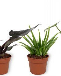Set van 3 Kamerplanten - Aloë Vera & Monstera Deliciosa & Philodendron Black Cardinal - ± 30cm hoog - 12cm diameter
