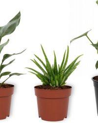 Set van 3 Kamerplanten - Aloë Vera & Monstera Deliciosa & Strelitzia Reginae - ± 30cm hoog - 12cm diameter