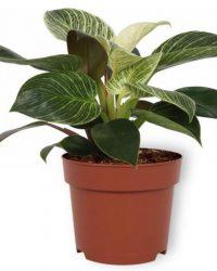 Set van 3 Kamerplanten - Aloë Vera & Nephrolepis Vitale & Philodendron White Wave- ± 30cm hoog - 12cm diameter