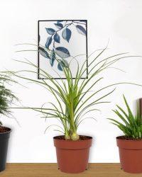 Set van 3 Kamerplanten - Aloë Vera & Nolina Recurvata & Asparagus Plumosus - ± 30cm hoog - 12cm diameter