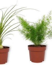 Set van 3 Kamerplanten - Aloë Vera & Nolina Recurvata & Asparagus Sprengeri - ± 30cm hoog - 12cm diameter