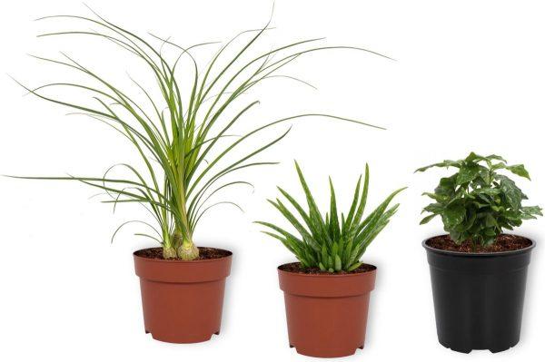 Set van 3 Kamerplanten - Aloë Vera & Nolina Recurvata & Coffea Arabica - ± 30cm hoog - 12cm diameter