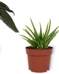 Set van 3 Kamerplanten - Aloë Vera & Peperomia Green Gold & Alocasia Wentii - ± 30cm hoog - 12cm diameter