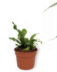 Set van 3 Kamerplanten - Asparagus Plumosus & Platycerium Netherlands & Aloë Vera - ± 25cm hoog - 12cm diameter