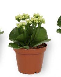 Set van 3 Kamerplanten - Kalanchoë Perfecta - met witte bloemen - ± 12cm hoog - 7cm diameter